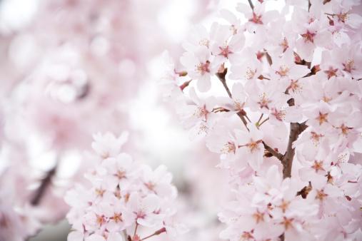 桜「ピンクの桜」:スマホ壁紙(16)