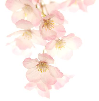 春「ピンクの桜」:スマホ壁紙(14)