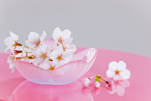 Cherry Blossoms「Pink Cherry Blossoms」:スマホ壁紙(18)