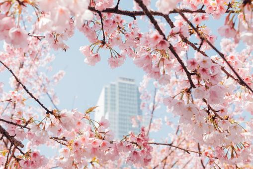 桜「pink cherry blossom with sky background」:スマホ壁紙(19)