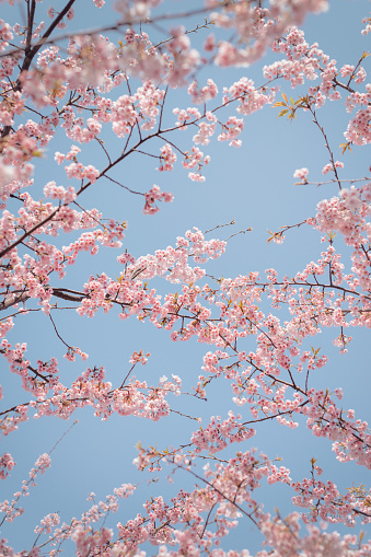 桜「pink cherry blossom with sky background」:スマホ壁紙(14)