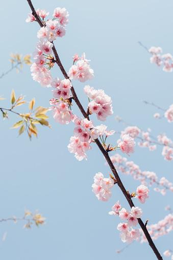 桜「pink cherry blossom with sky background」:スマホ壁紙(18)