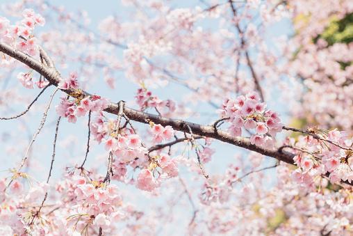 桜「pink cherry blossom with sky background」:スマホ壁紙(17)