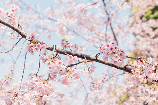 Cherry Blossom「pink cherry blossom with sky background」:スマホ壁紙(11)