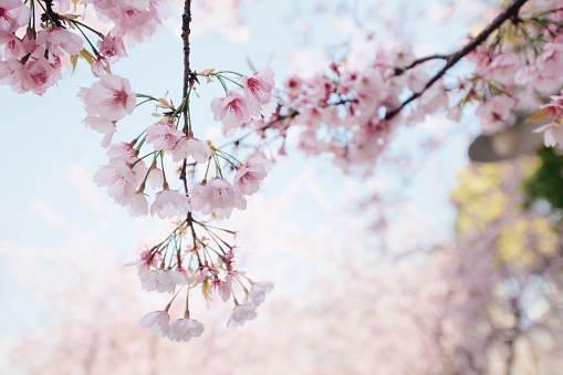 桜「pink cherry blossom with sky background」:スマホ壁紙(16)