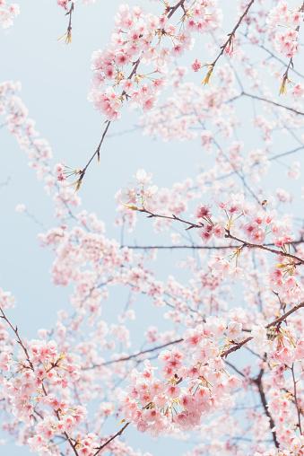 桜「pink cherry blossom with sky background」:スマホ壁紙(15)