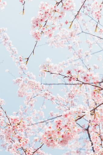 Cherry Blossom「pink cherry blossom with sky background」:スマホ壁紙(12)