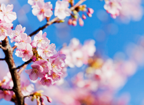 Cherry Tree「Pink Cherry Blossoms against Clear Blue Sky」:スマホ壁紙(15)