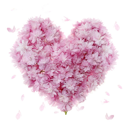 Cherry Blossoms「Pink cherry blossom used to create heart shape, on white.」:スマホ壁紙(13)