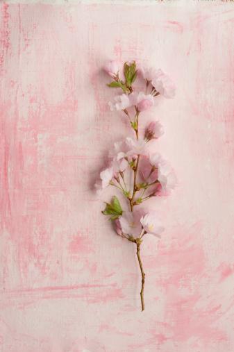 桜「Pink cherry blossom, close up」:スマホ壁紙(3)