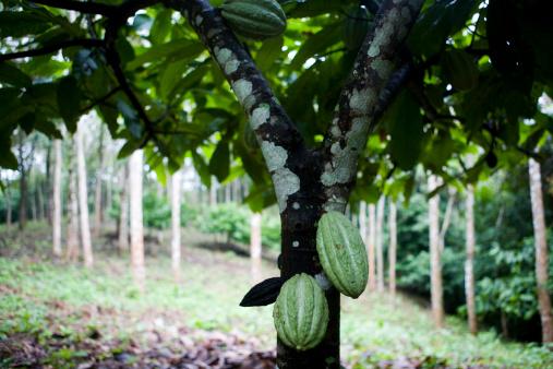 Fair Trade「Cacao (Theobroma cacao) cultivation.」:スマホ壁紙(14)