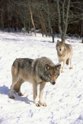 Animals Hunting「Pair of wolves」:スマホ壁紙(6)