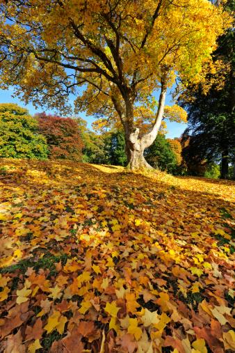 セイヨウカジカエデ「Autumn sycamore with a carpet of fallen leaves」:スマホ壁紙(13)