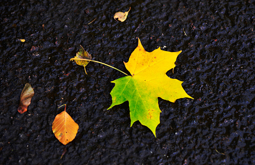 セイヨウカジカエデ「Autumn sycamore fallen leaf」:スマホ壁紙(18)