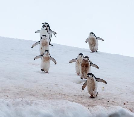 探求「8 チンス トラップ ペンギン徒歩で Antarticta の雪」:スマホ壁紙(16)