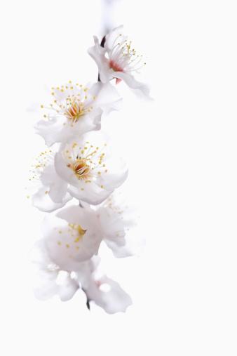 梅の花「Japanese flowering apricot (prunus mume), close-up」:スマホ壁紙(18)