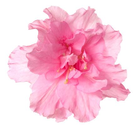 Pink「Azalea.」:スマホ壁紙(0)