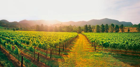 Vineyard「Hunter Valley wine region」:スマホ壁紙(16)