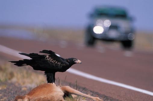 Run Over「Wedge-tailed Eagle on Roadkill」:スマホ壁紙(9)