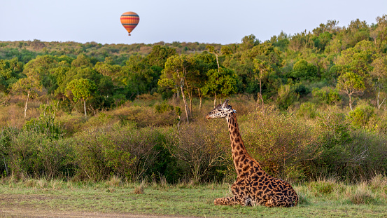 Giraffe「Balloon flying over Giraffe sitting in Masai Mara」:スマホ壁紙(19)
