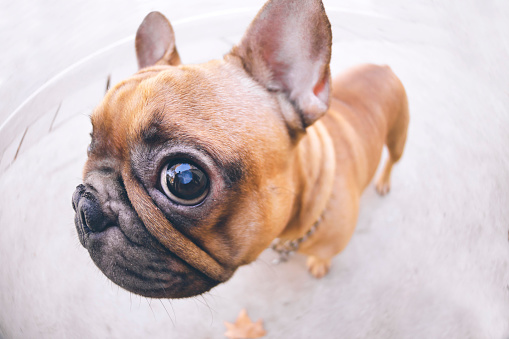 Animal Eye「Funny portrait of French bulldog」:スマホ壁紙(10)