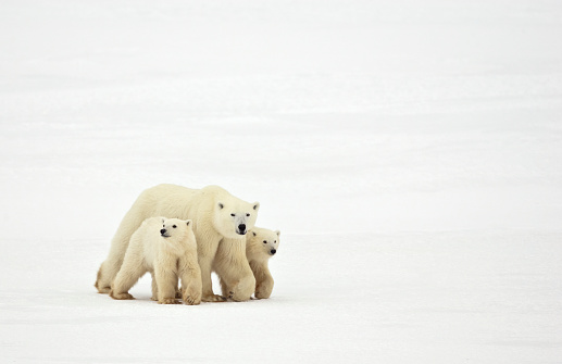 Polar Bear「Mother and Cubs Walking」:スマホ壁紙(16)