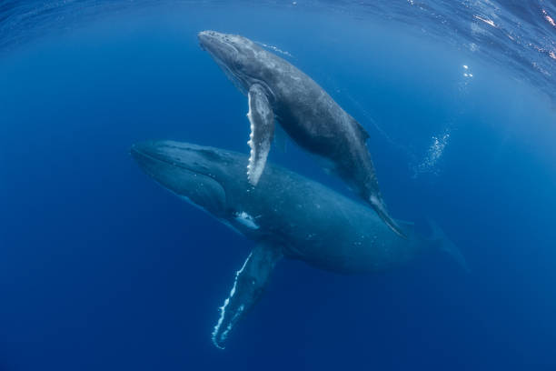 Mother and Calf Humpback Whales:スマホ壁紙(壁紙.com)