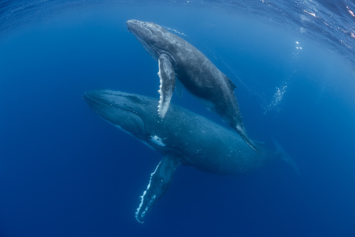 Water Surface「Mother and Calf Humpback Whales」:スマホ壁紙(10)