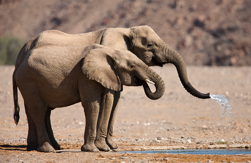 Drinking「A mother and calf desert-adapted elephant drink at a water hole」:スマホ壁紙(5)