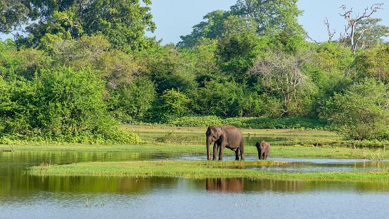 Sri Lanka「Mother and baby elephant」:スマホ壁紙(19)