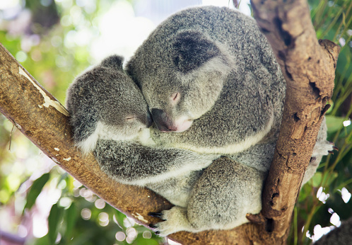 コアラ「Mother and baby koala bears (Phascolarctos cinereus) cuddled up in a tree」:スマホ壁紙(9)