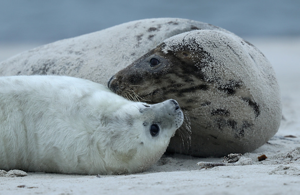 Gray Color「Heligoland Seals Give Birth To Record Number Of Pups」:写真・画像(1)[壁紙.com]