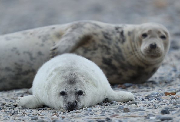 Gray Color「Heligoland Seals Give Birth To Record Number Of Pups」:写真・画像(3)[壁紙.com]