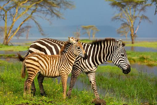 Horse「Mother and foal Burchell's zebra (Equus burchelli). Lake Nakuru National Park. Kenya」:スマホ壁紙(11)