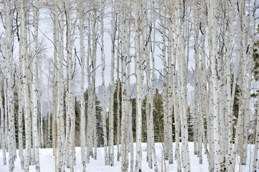 Aspen Tree「Aspens in WInter」:スマホ壁紙(3)
