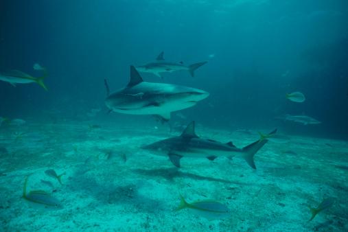 Ocean Floor「Black Tip Sharks」:スマホ壁紙(9)