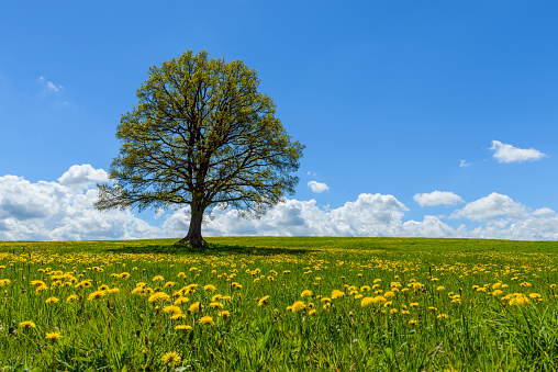 flower「Lime tree with dandelion meadow in spring, Hesse, Germany」:スマホ壁紙(19)