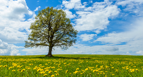 flower「Lime tree with dandelion meadow in spring, Hesse, Germany」:スマホ壁紙(18)