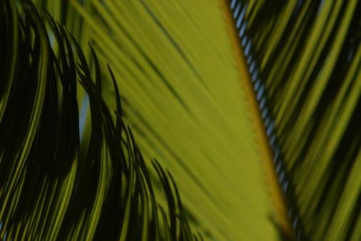 Frond「Palm tree leaves」:スマホ壁紙(2)