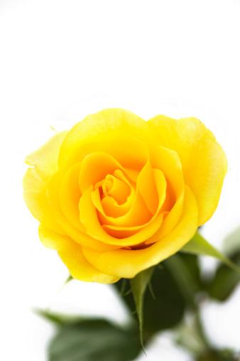 薔薇「黄色のローズ」:スマホ壁紙(5)