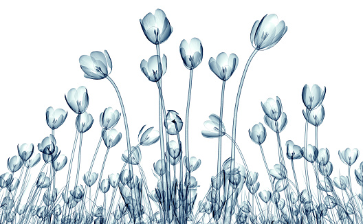 Crocus「x-ray image of a flower isolated on white , the crocus」:スマホ壁紙(11)