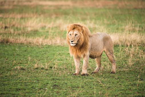 一匹「Thick-maned, male lion (Panthera leo) stands in short grass, Serengeti National Park」:スマホ壁紙(16)