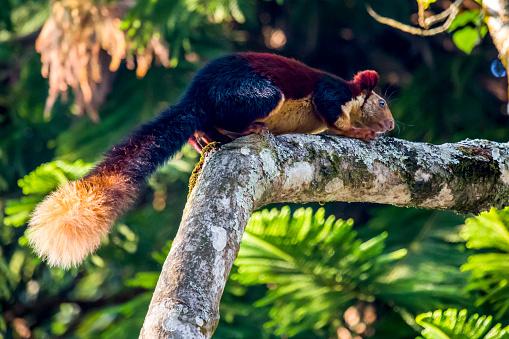 Squirrel「Malabar giant squirrel (Ratufa indica)」:スマホ壁紙(0)