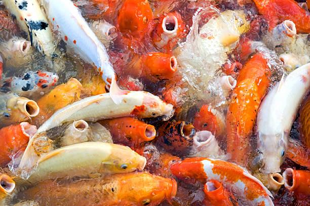 The view of Koi (fishes) feeding frenzy in pond:スマホ壁紙(壁紙.com)