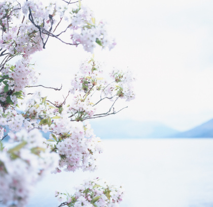 桜「Scotland, Edinburgh, Loch Earn, cherry blossom in foreground」:スマホ壁紙(11)
