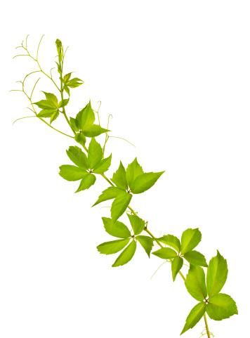 植物「ワイルドヴァイン」:スマホ壁紙(8)