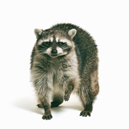 Raccoon「Racoon (Procyon lotor) against white background」:スマホ壁紙(4)