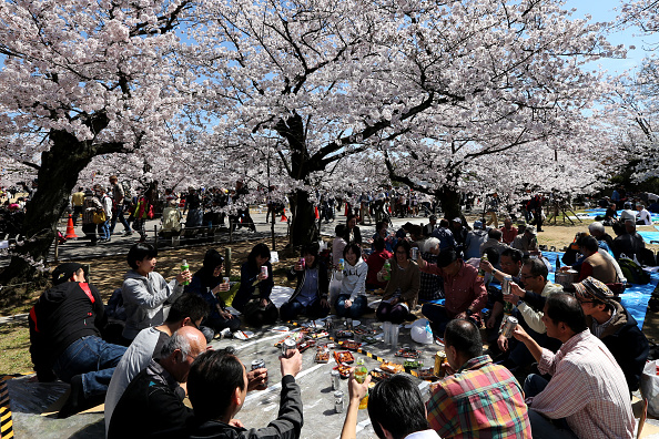 Cherry Blossom「People Enjoy Full Bloom Cherry Blossom In Himeji」:写真・画像(13)[壁紙.com]