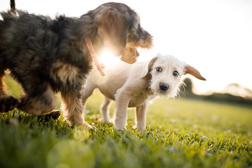 Mixed-Breed Dog「Puppies playing at the park」:スマホ壁紙(17)