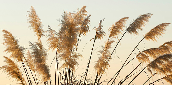 アイリッシュ海「Cortaderia Selloana Pampas Grass with warm tones of sunset」:スマホ壁紙(19)